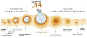 bloating during ovulation